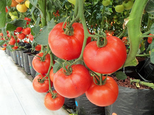 hydroponictomatoes