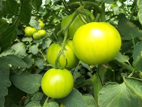 unripe-yellow-tomatoes