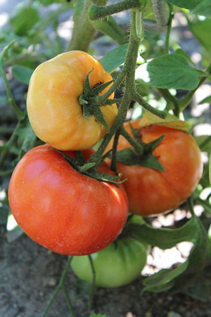 tomatoes-growing-in-soil